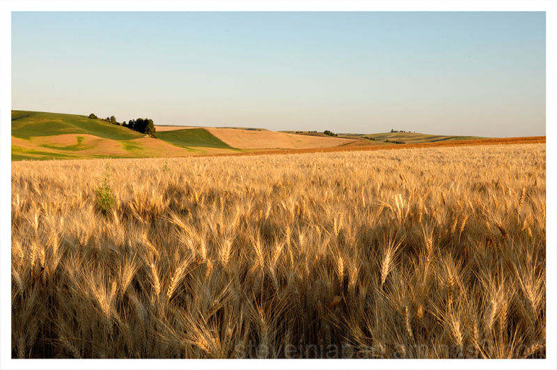 Wheat is king in the Palouse of Washington.