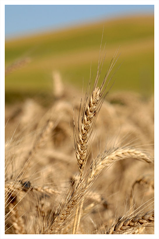 A portrait of King Wheat in the Palouse.