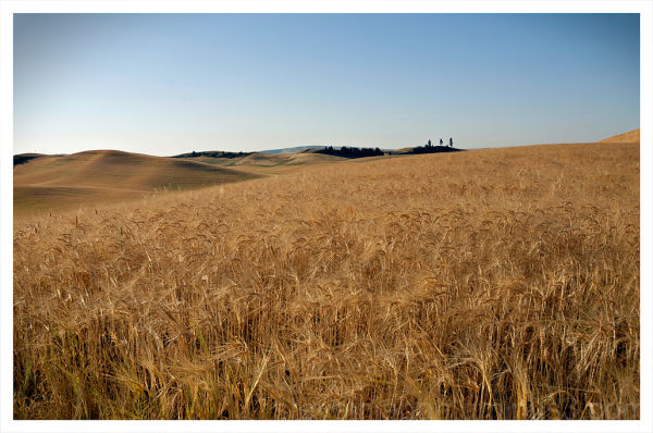 A wheat field in the Palouse of Washington.