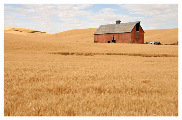 Wheat and Barn