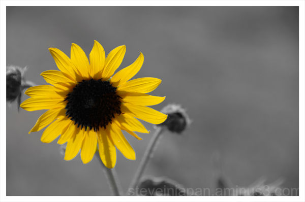 A sunflower in the Palouse.