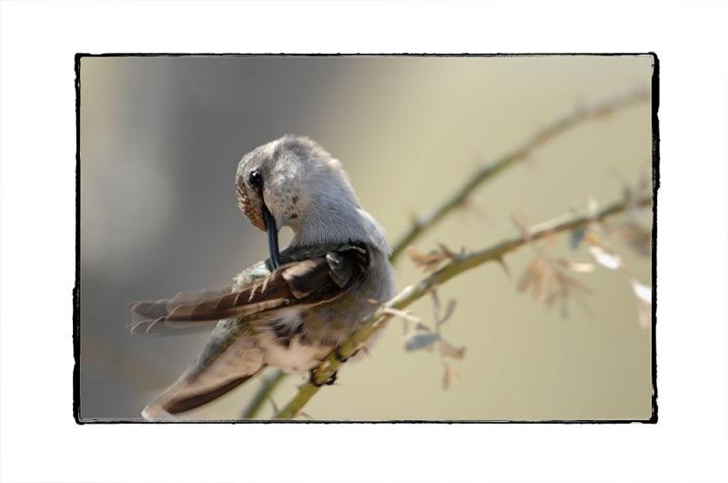Mama hummingbird is preening.