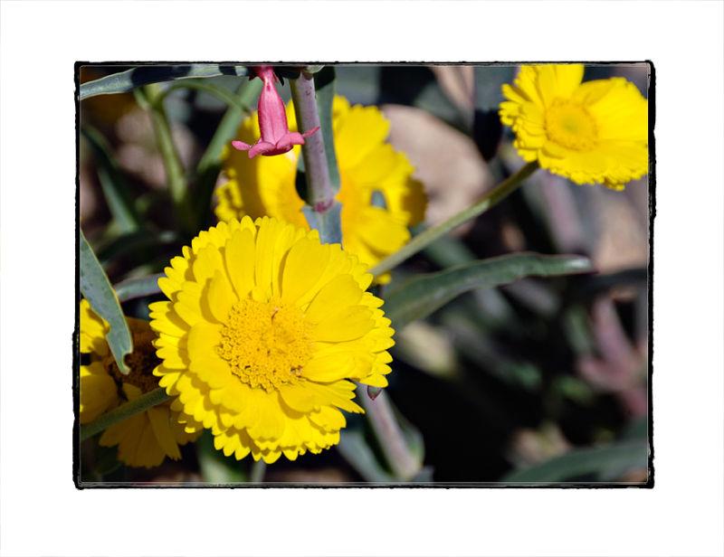 Desert Marigolds at Tohono Chul Park.