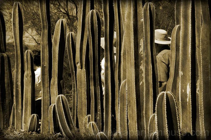 A cactus planting at Tohono Chul Park.