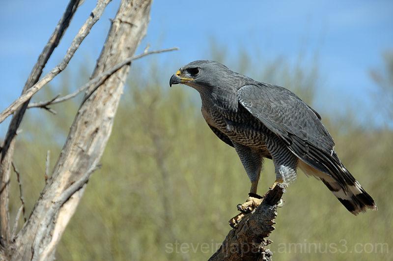 A hawk at the Desert Museum in Tucson, AZ.