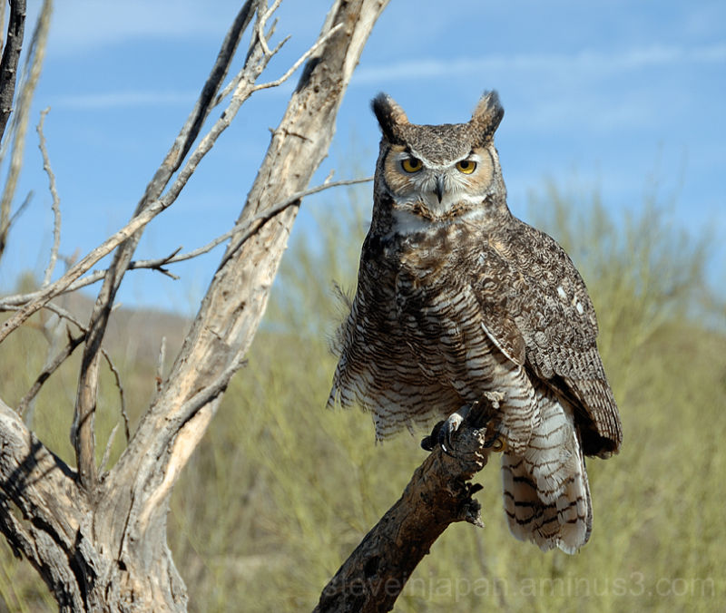 A Great Horned Owl at the Desert Museum.