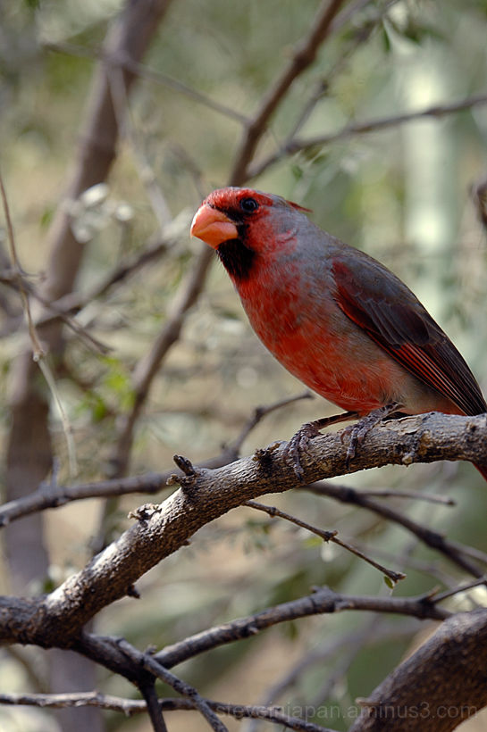 A Cardinal at the Desert Museum.