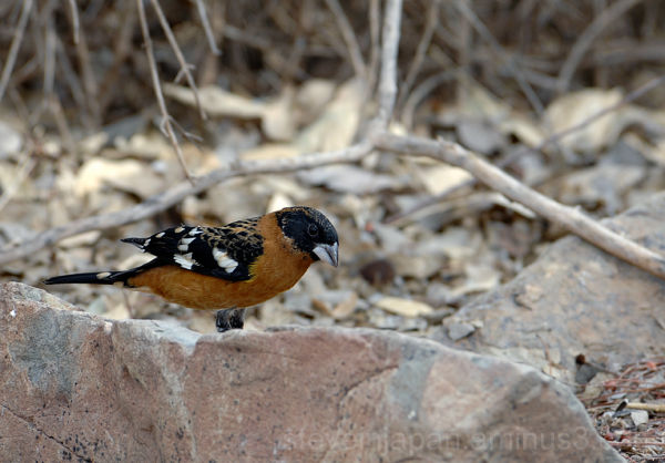 A Black-Headed Grosbeak at the Desert Museum.