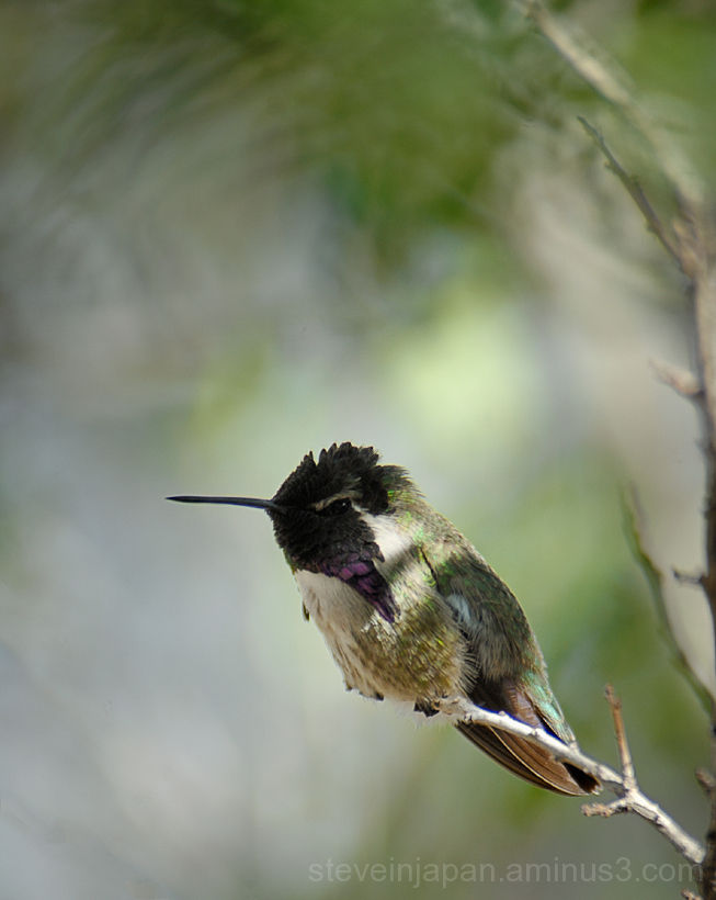 A Black-Chinned Hummingbird at the Desert Museum.
