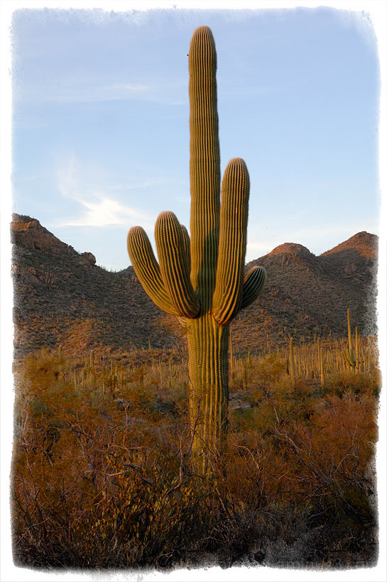 A Saguaro in the warm afternoon light.