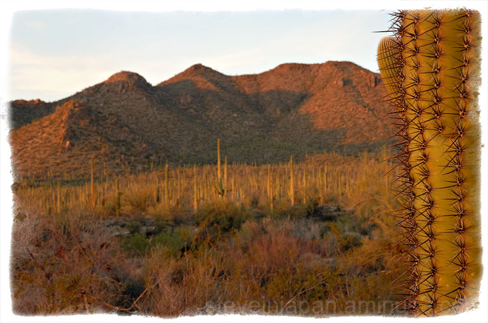 Saguaros in the warm afternoon light.