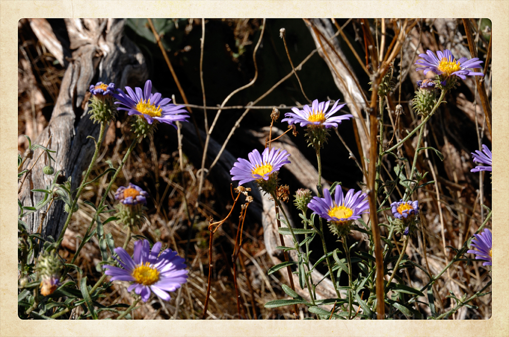 Asters along the Broken Arrow Trail.