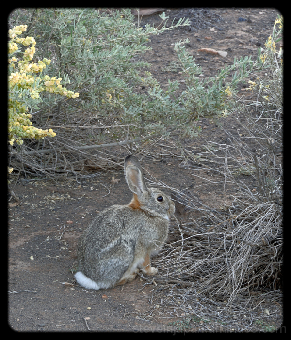 A Jack Rabbit near the Box Canyon area.