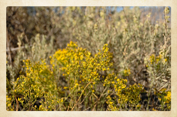 Saltbush at Tuzigoot NM.