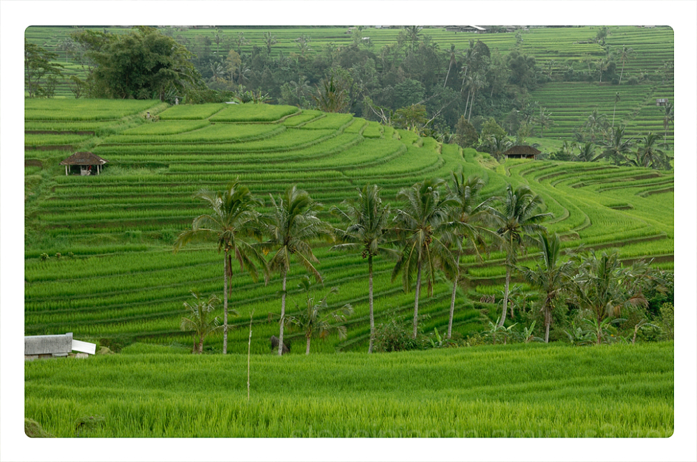 The centuries old rice fields at Jatiluwih, Bali.