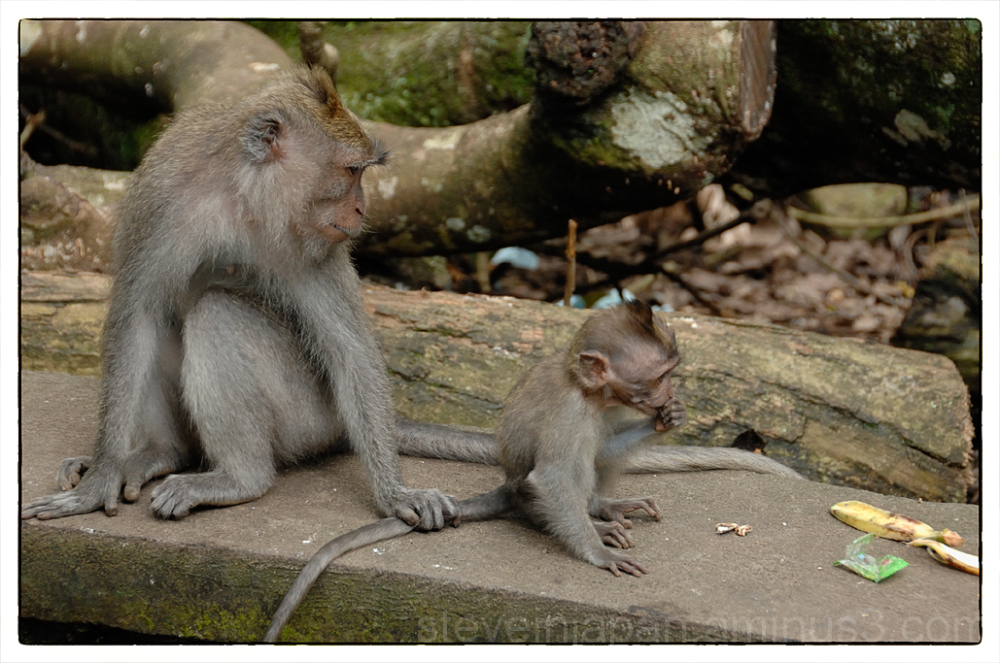 Monkeys in the Sacred Monkey Forest in Bali.