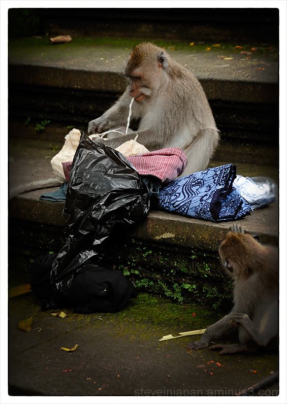 A monkey goes through a bag taken from a tourist.