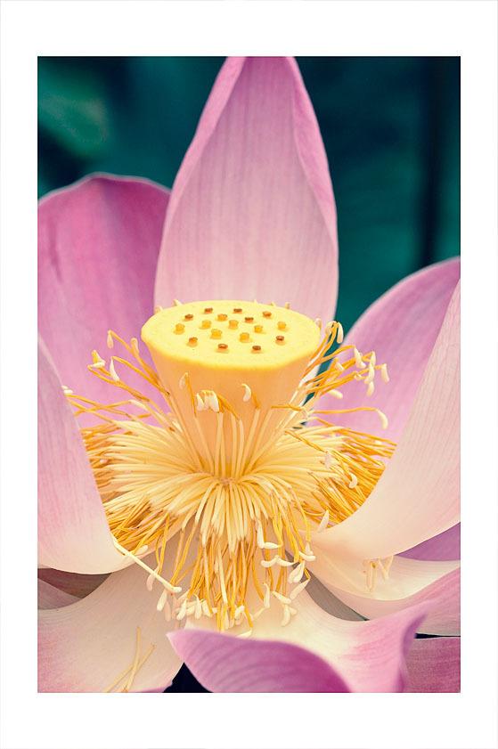 A cross processed Lotus blossom.