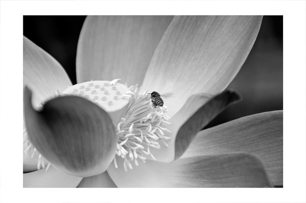 A Lotus and bee in Bali.