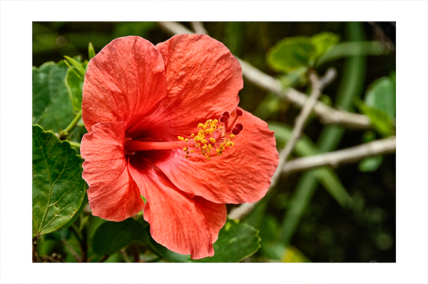 An Hibiscus in front of Waka Di Ume.