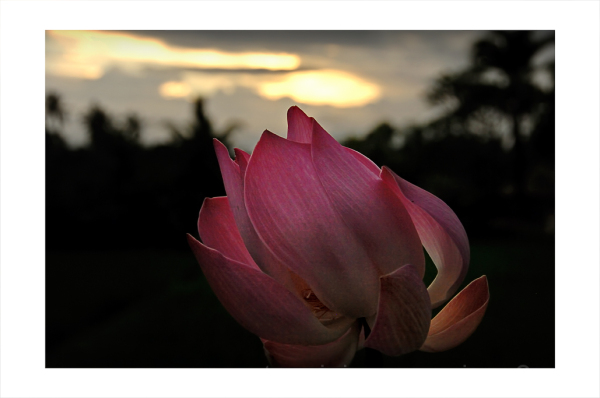 Sunset and lotus in Bali, Indonesia.