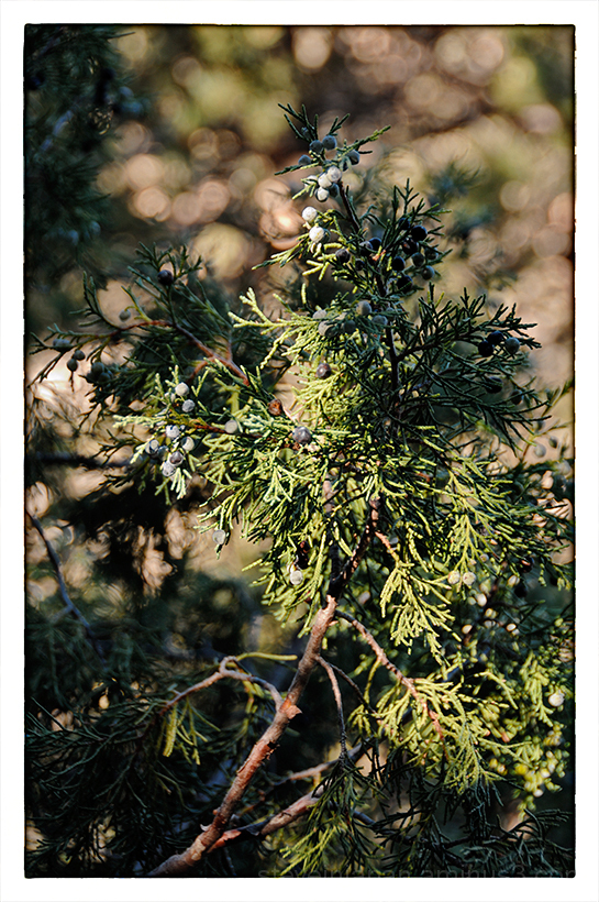Juniper berries at Walnut Canyon NM.