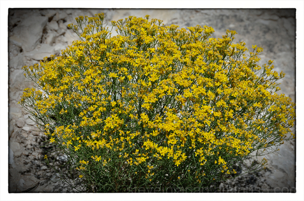 Broom Snakeweed at Walnut Canyon NM.