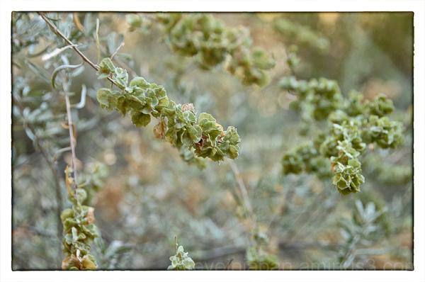 Saltbush at Montezuma Castle near Flagstaff, AZ.