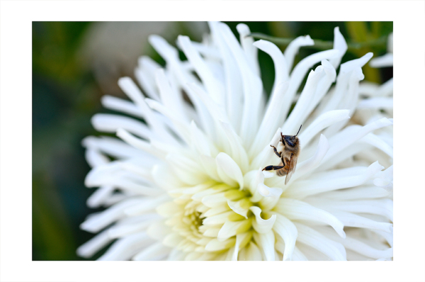 A slow moving bee on a dahlia.