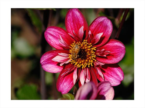 A bee on a dahlia.