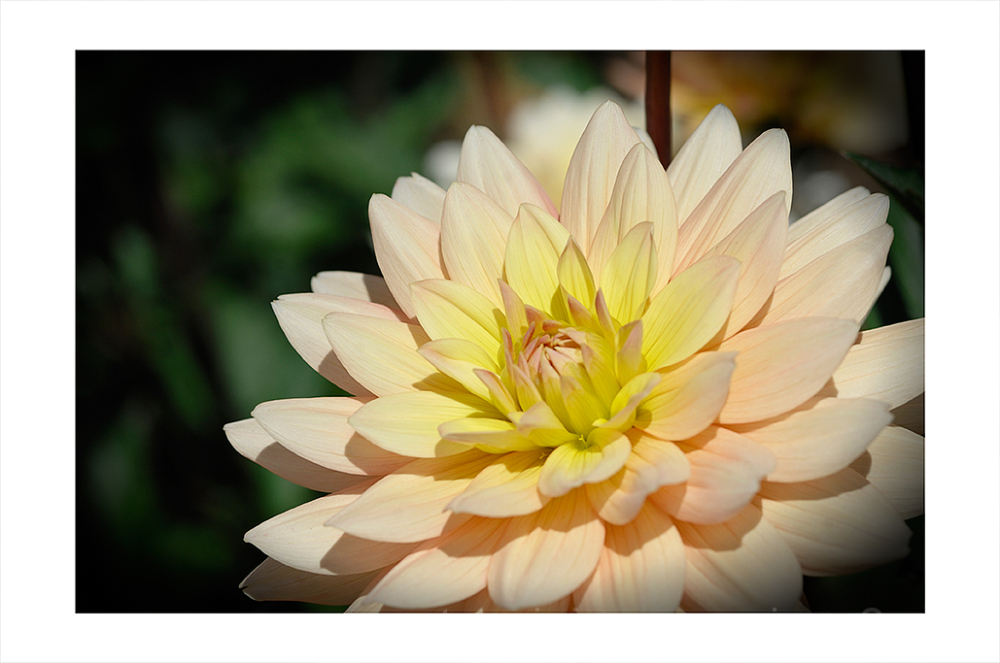 A multi-colored dahlia.