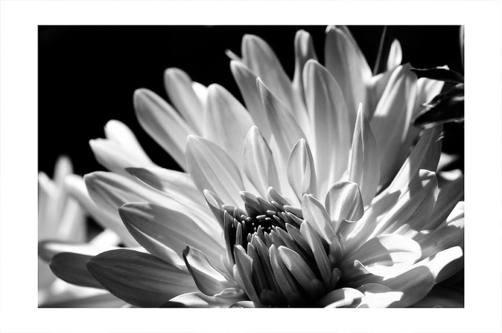 A red dahlia processed in B&W.