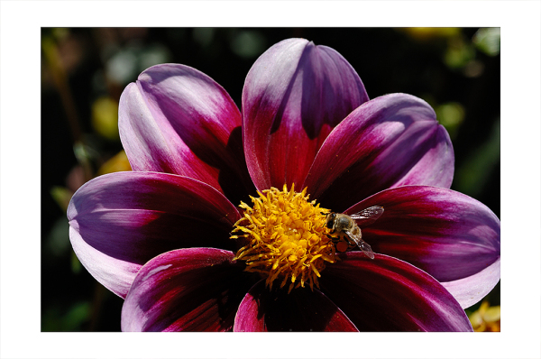 A purple dahlia and bee.