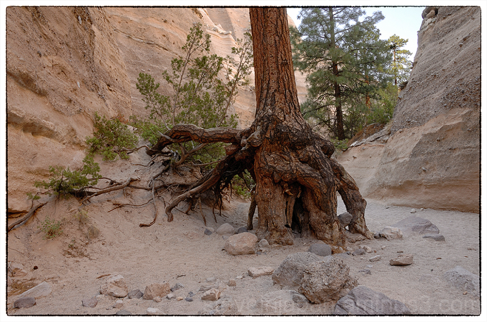 A pine tree in the slot canyon at Tent Rocks NM.