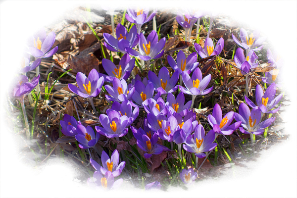 Crocuses blooming in February.