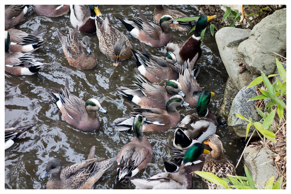 Ducks swarming some bread at Point Defiance Park.