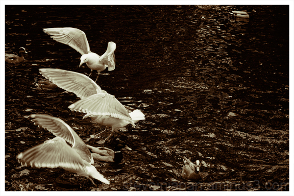 Gulls swarming some bread at Point Defiance Park.
