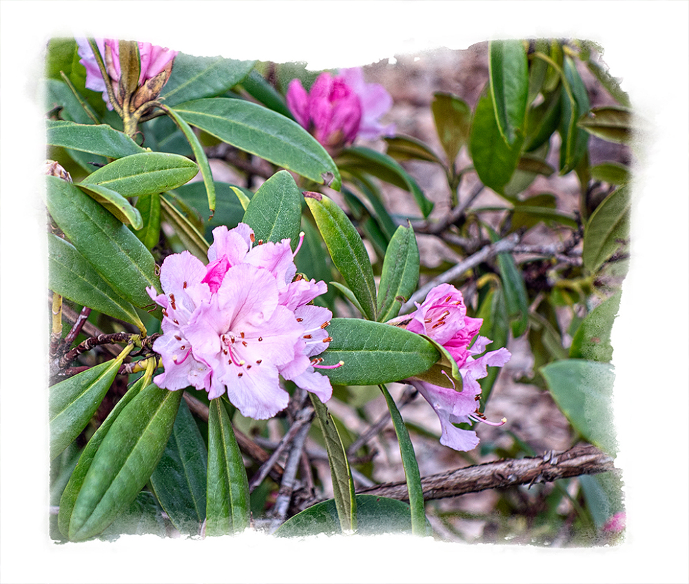 Rhododendrons blooming in early February.