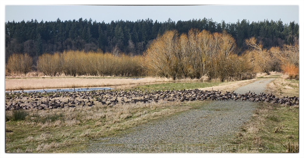 Geese at the Nisqually National Wildlife Refuge.