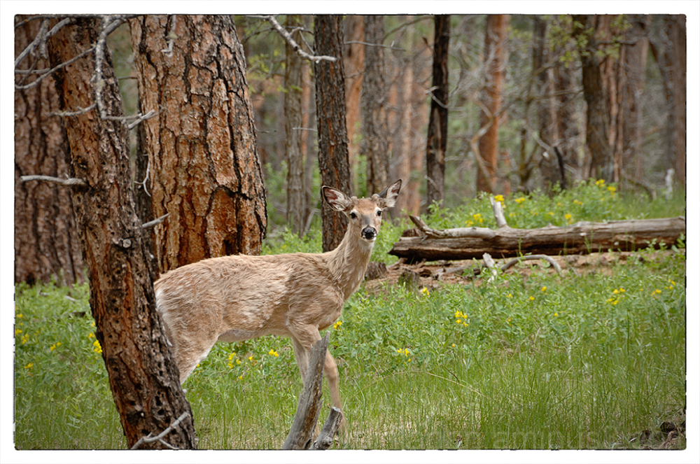 A young buck at Devils Tower National Monument.