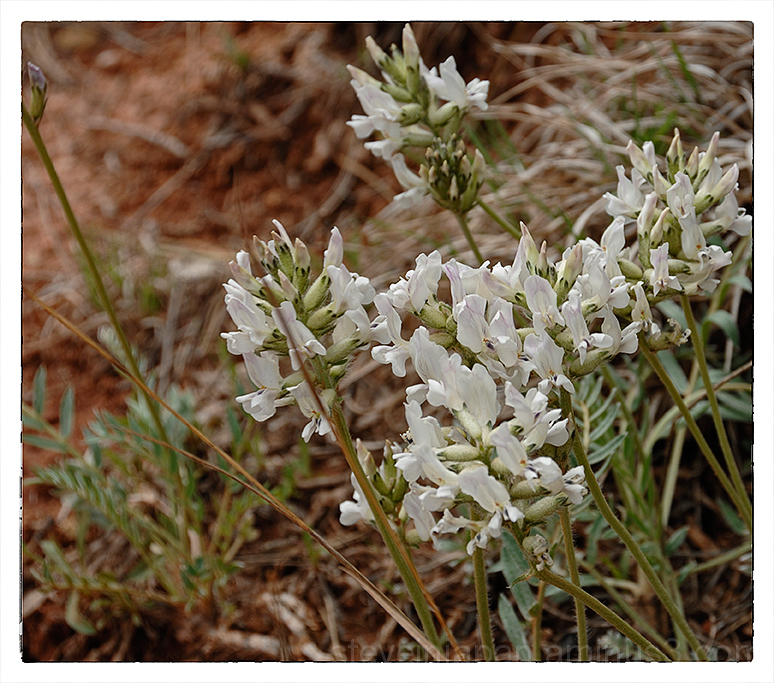 White Beardtongue at Devils Tower NM.