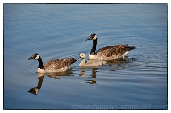 Canada Geese in an Iowa park.