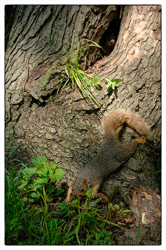 An upset squirrel in an Iowa park.