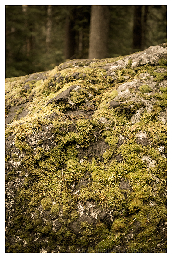 A moss covered rock near Hurricane Ridge.