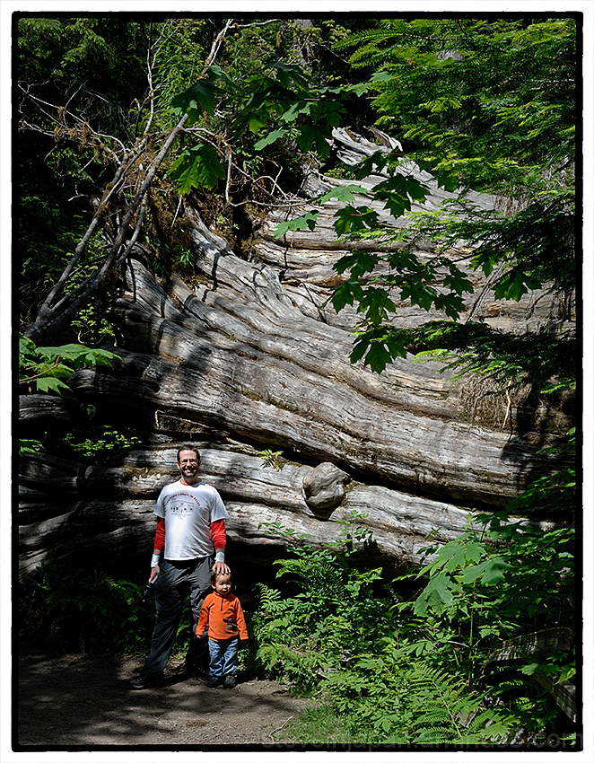 A big cedar tree along the Staircase Rapids Trail.