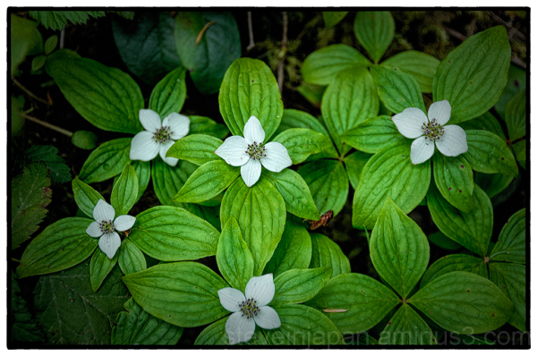 Dwarf Dogwoods along the Staircase Rapids Trail.
