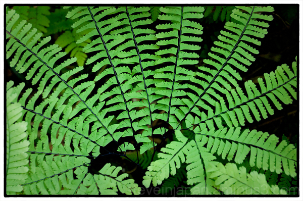 A fern along the Staircase Rapids Trail.