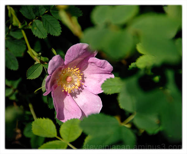 A wild rose at Deception Pass State Park.