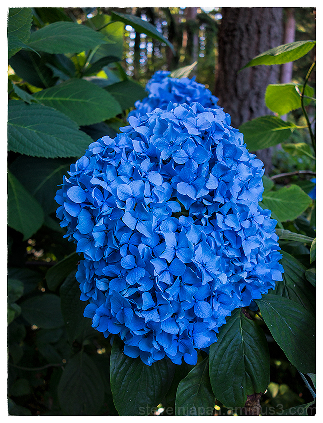 Blue Hydrangea in the backyard.