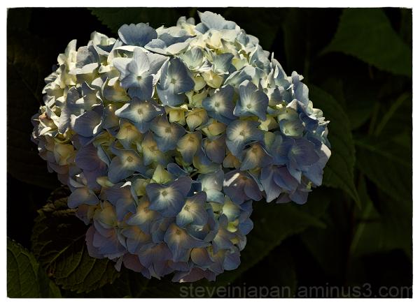 Blue Hydrangea in the backyard.